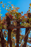 Bunches of ripe grapes. At a winery royalty free stock photo