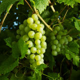 Bunches of ripe green grapes Royalty Free Stock Images