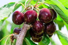 Bunches of ripe juicy cherry dark bordo berry Stock Photography