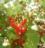 Bunches of ripe red currants royalty free stock images