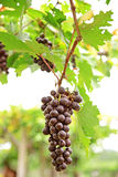 Bunches of ripe red wine grapes Stock Photos
