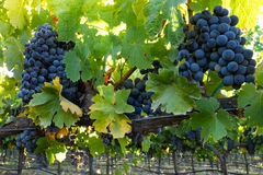 Bunches of ripe, red wine grapes hanging in a California vineyard Royalty Free Stock Photos