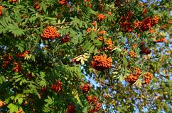 Bunches of ripe rowan berry in sunlight royalty free stock images
