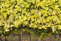 Bunches of ripe Sauvignon blanc grapes with leaves on vine in vineyard stock images