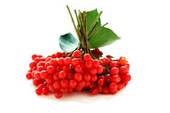Bunches of ripe viburnum. Royalty Free Stock Image