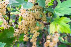 Bunches of ripe white currant on the shrub. The currant is one of the most widespread berry shrubs of the Russian garden. It grows practically in all territory Royalty Free Stock Photos