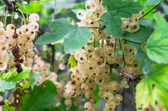 Bunches of ripe white currant on the shrub. The currant is one of the most widespread berry shrubs of the Russian garden. It grows practically in all territory Stock Photo