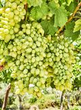 Bunches of white grapes in a vineyard. Bunches of ripe white grapes with fertilizer stains in a vineyard Royalty Free Stock Photos