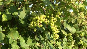 Bunches of ripe white grapes on a sunny evening. Tuscany, Italy. Bunches of ripe white grapes on a sunny evening. Tuscany. Italy stock video footage