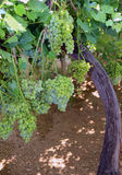Bunches of ripe white grapes on vineyard Royalty Free Stock Images