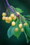 Bunches of ripe yellow cherries hang on a branch in the garden Royalty Free Stock Photos