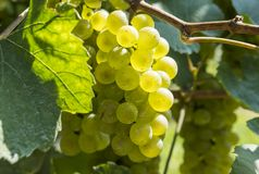 Bunches of Ripen Chardonnay Grapes. Hanging on the Vine Stock Photo