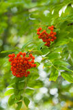 The bunches of ripened ashberry Royalty Free Stock Images