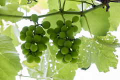 Bunches ripening grapes Royalty Free Stock Image