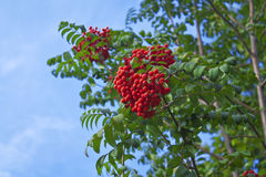 Bunches of rowan Royalty Free Stock Image
