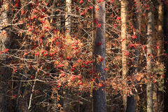 Bunches of rowan in autumn forest. Beautiful bunches of rowan in pine autumn forest Royalty Free Stock Photo