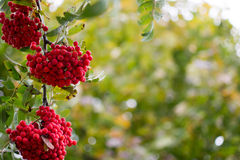 Bunches of rowan in the autumn Royalty Free Stock Images