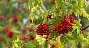 Bunches of Rowan berries with autumn leaves. Stock Photo