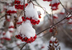Bunches of Rowan berries covered by snow. Late in the fall Royalty Free Stock Images