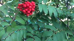 Bunches of rowan berries and and green leaves swaying wind. stock video