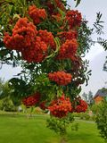 Bunches of rowan is big on a branch on the background of the park Clouse up Autumn Colors green and orange Stock Photography
