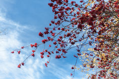 Bunches of rowan on blue sky background. Sunny day in autumn forest Stock Photography