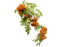 with bunches of rowan branch isolated Stock Photo