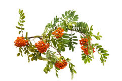 with bunches of rowan branch isolated Royalty Free Stock Image