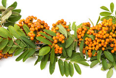 with bunches of rowan branch Stock Images