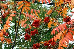 Bunches of rowan. Royalty Free Stock Image