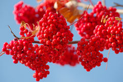 Bunches of rowan Royalty Free Stock Images