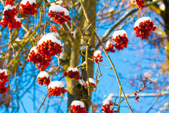 Bunches of rowan covered with snow Stock Photo