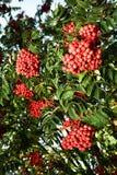 Bunches of Rowan in the dense foliage Stock Photos