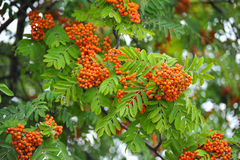 Bunches of Rowan tree Stock Images