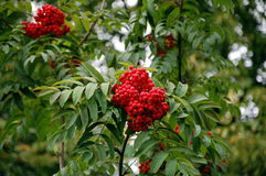 Bunches of rowanberry Stock Image