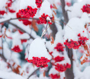 Bunches of rowans under the snow. Bunches of berries rowan covered with snow royalty free stock photos