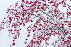 Bunches of rowans under the snow. Branches with bunches of ripe berries rowan covered with snow on a background of a cloudy sky Stock Image