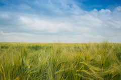 Bunches of rye Stock Photography