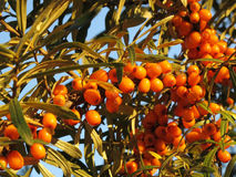 Bunches of sea buckthorn Stock Photo