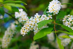 Bunches of small tiny white flowers, branches and green leaves of bird cherry tree at spring evening of May. Macro photography. Bunches small tiny white flowers royalty free stock photography