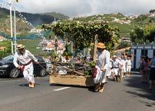 Bunches of Tinta Negra Mole grapes on pergola in Estreito  de Camara  de Lobos on Madeira. Royalty Free Stock Photography