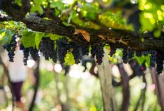 Bunches of Tinta Negra Mole grapes on pergola  in Estreito  de Camara  de Lobos on Madeira. Portugal Royalty Free Stock Image