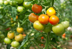 Bunches of tomatoes in a greenhouse Stock Image