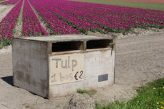 Bunches of fresh tulips for sale along the touristic tulip route, Flevoland, Noordoostpolder, Netherlands Royalty Free Stock Photography