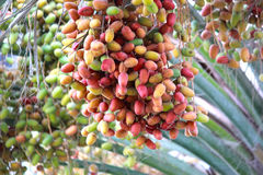 Bunches of unripe dates in Dubai Royalty Free Stock Image