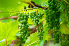 Bunches of unripe grapes on the plantation Royalty Free Stock Photo