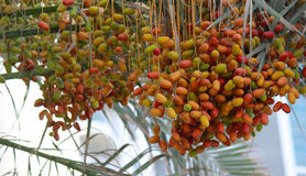 Bunches of unripened dates Stock Photos