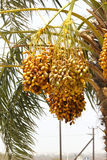 Bunches of unripened Dates on a Date Palm IN DUBAI,UAE on 26 JUNE 2017 Royalty Free Stock Image