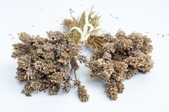 Bunches of very dry Lavender flowers in natural colour - 2. Bunches of very dry Lavender flowers in natural colour - on white background royalty free stock photography