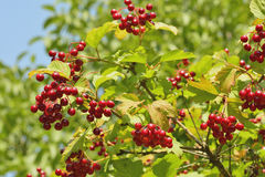 Bunches of viburnum Royalty Free Stock Image